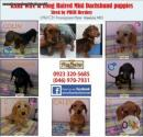 Rare Wire & Long Haired Dachshund puppies Sired By PHCH Hershey